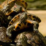 turtleheap
